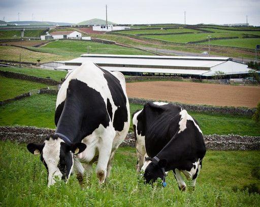 Quinta dos Açores cows, Terceira Island, Azores